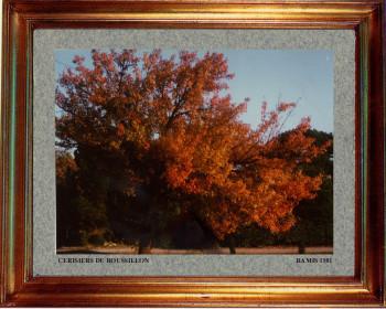 Catalogne nord, cerisier du Roussillon 1981 sur le site d'ARTactif