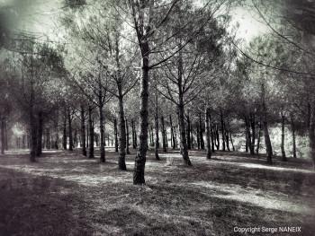 La foret de pins sur le site d'ARTactif