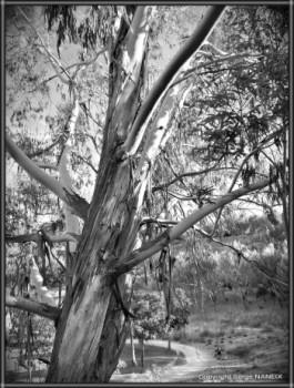 L'eucalyptus sur le site d'ARTactif