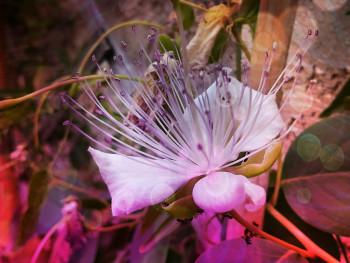 Fleur de caprier sur le site d'ARTactif