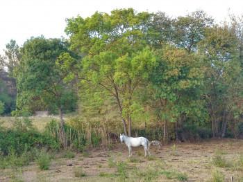 Cheval camarguais sur le site d'ARTactif