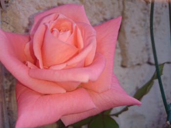 Rose d'un jour sur le site d'ARTactif
