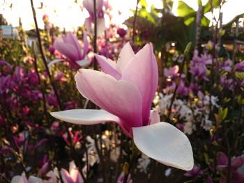 Magnolia sur le site d'ARTactif