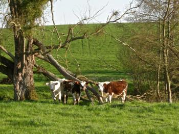 Arbre cassé aux vaches  sur le site d'ARTactif